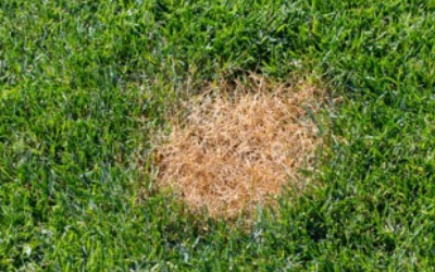 Contender's Tree & Lawn Specialists - Anthracnose