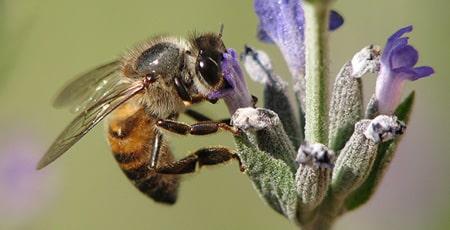 Honeybee Pollinators