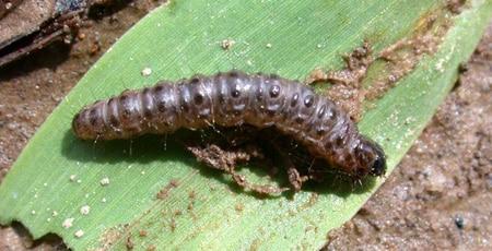 Sod Webworm