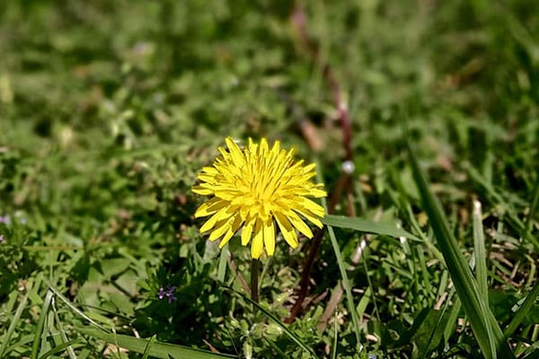 Controlling Lawn Weeds